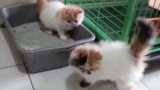 Anak Kucing Persia Belajar Pup