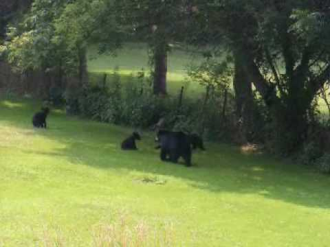 Black Bear Cubs at play in Branchville NJ - Part 1