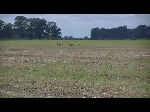 caza de liebres con galgos 2013