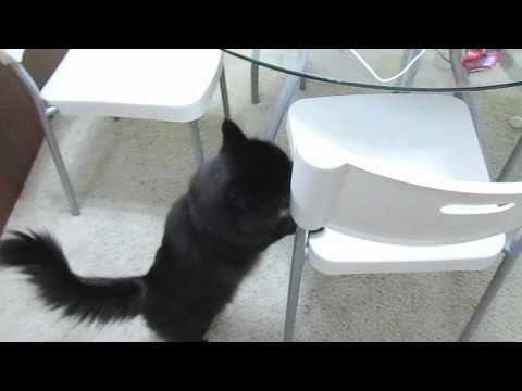 こんにゃろ〜!ばかやろ〜!と喋る黒猫ちゃん