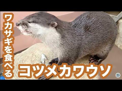 ワカサギを食べるコツメカワウソ【サンシャイン水族館】