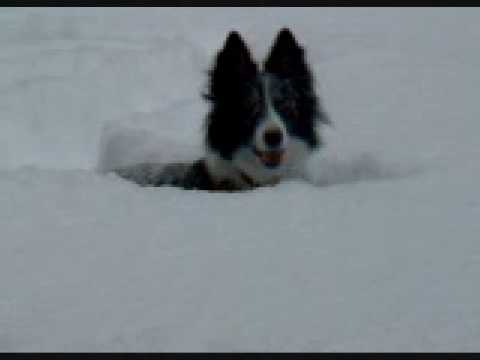 Border collie and snow