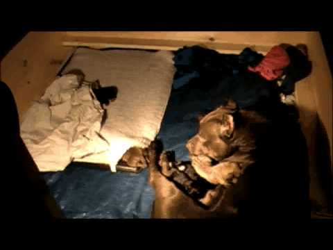 Dalmation Molly giving live birth
