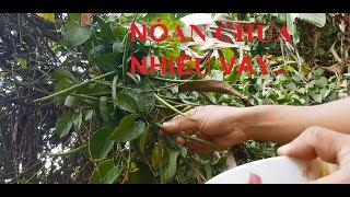Trái cây lá giang chấm mắm ruốc ( Sour fruit, saliva)