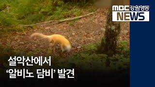 R)설악산 알비노 담비,다람쥐 잇따라 발견