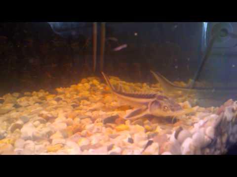 разведение осетров в аквариуме видео