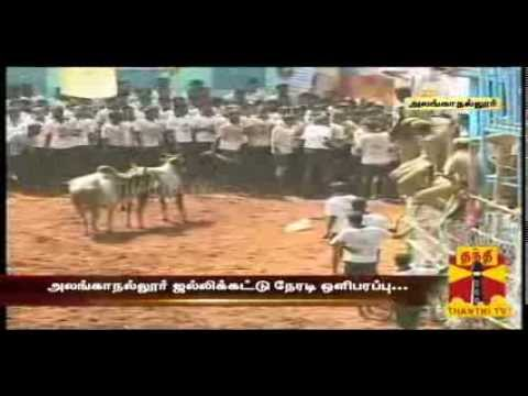 World Famous Alanganallur-jallikattu - End Compilation (thanthi Tv) video