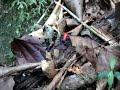 Strawberry poison dart frog ( Oophaga pumilio ) .Fleeing an attack