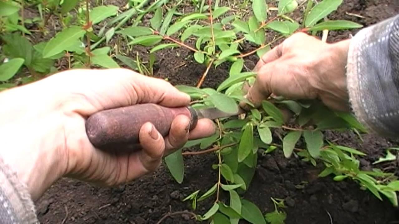 Технология выращивания жимолости съедобной 81