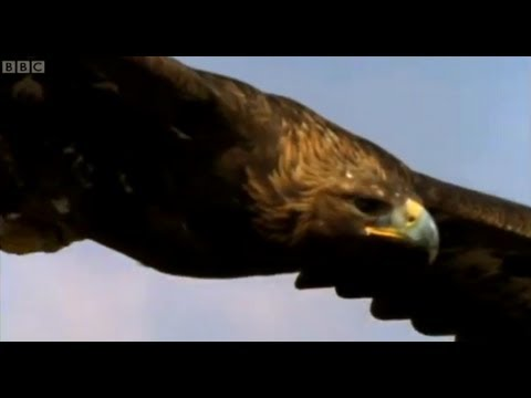 Eagle vs Hare - Predators - BBC