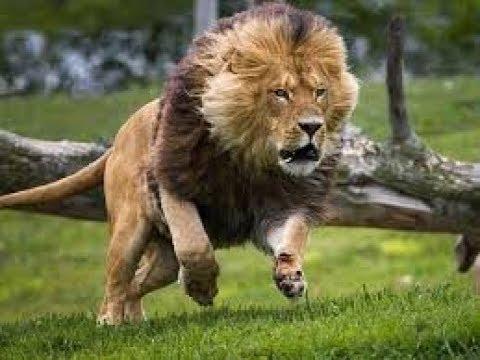 The  Pride of VUMBI lion - Lion Gangland - Nat Geo Wild HD