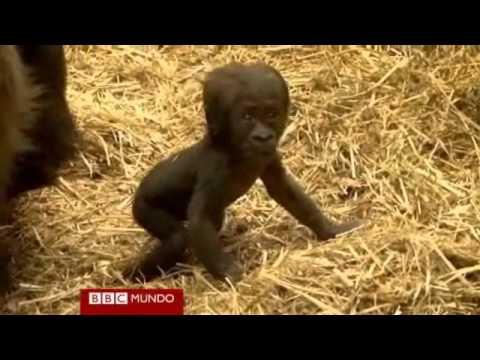Primeros pasos de un bebé gorila en el zoológico de Londres
