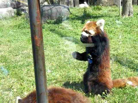 立ち上がるレッサーパンダ