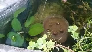 Lọc đơn giản cho hồ cá koi mini