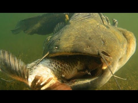 Catfish eating carp images for Can you eat carp fish