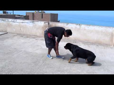 Adiestramiento canino :Roco (Rottweiler)