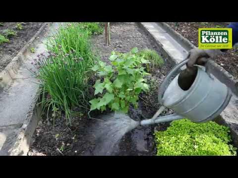 Schwarze Johannisbeeren einpflanzen im Garten I Pflannzen-Kölle