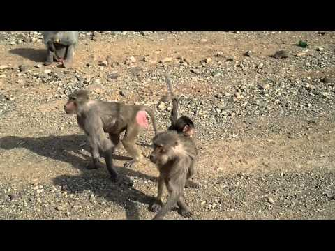 Arabian Baboon Monkeys Along The Roadside Makkah-madinah Highway, Saudi Arabia video