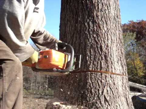 Stihl Chainsaw Cutting Big Oak Tree Down Ms-290 Farmboss video