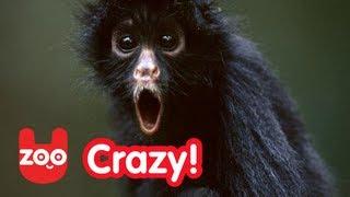 Thumb Un mono empezó a caminar erguido como un humano