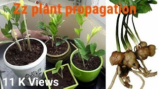 Propagation in Zz plant by divison/tuber/roots/rhizome