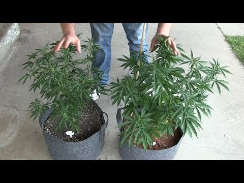 Outdoor soil vs hydroponics vegetative cycle results for Soil vs hydro