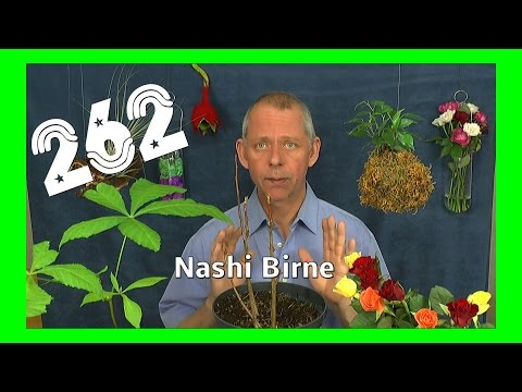 Garten Einblicke und Nashi Birne umtopfen
