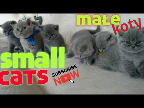 Małe Koty Brytyjskie Zabawa