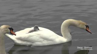Swan Family with Babys✷ 白鳥の子 ✷  SWITZERLAND