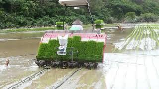2018年の石垣島の田植えはじまる