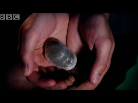 Strange sounds in the desert reveal a cute Golden Mole - Animal Camera - BBC