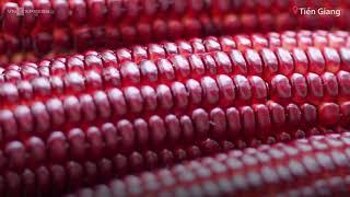 Trồng bắp nữ hoàng đỏ thu hàng trăm triệu mỗi vụ  -  VnExpress
