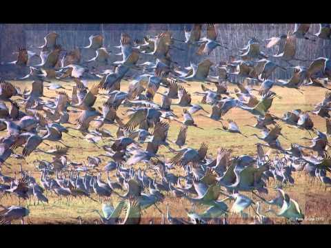 Sandhill Cranes of Jasper County, Indiana