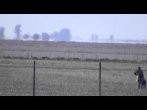 caceria de liebres con galgos carcaraña parte 5