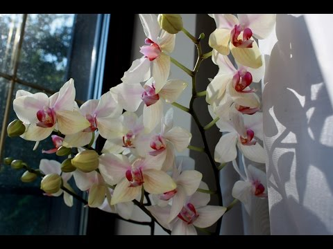 Phalaenopsis орхидеи  цветение.