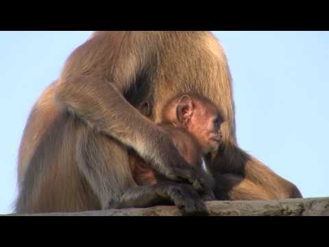 New Born Child With Mother Grey Monkey Closeup Activity video