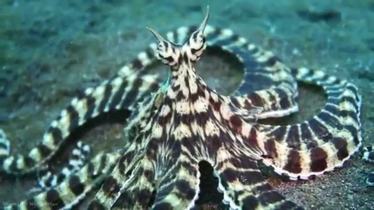 Mimic Octopus Camouflage The King of Camouflage Mimic