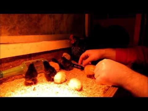 Цыплята первый день жизни