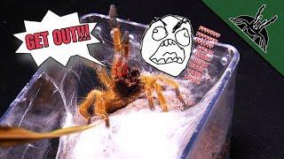 Abusing my Tarantulas PART 2 - slow motion edition
