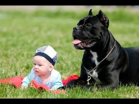 КАНЕ-КОРСО.MY BABY PET.МОЙ ПИТОМЕЦ-МОЙ РЕБЕНОК.ВСЕ САМОЕ ИНТЕРЕСНОЕ О ПИТОМЦАХ