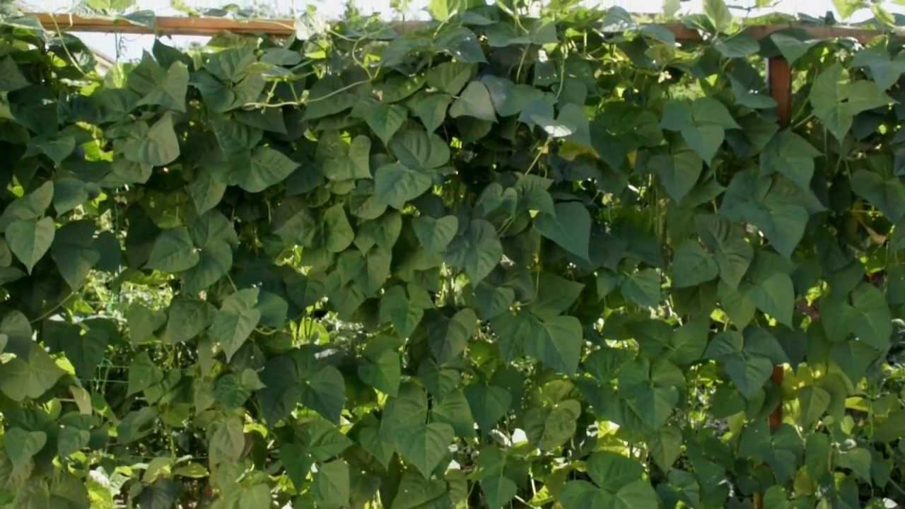 Haricots verts un mur g ant vertical de haricots verts de 2m50 dans un jardin youtube - Variete de haricot vert ...