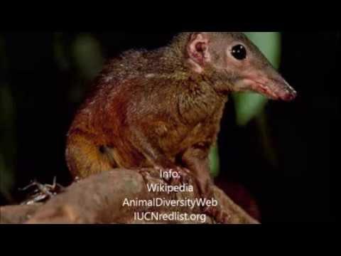 Mammals of the World: Large Treeshrew