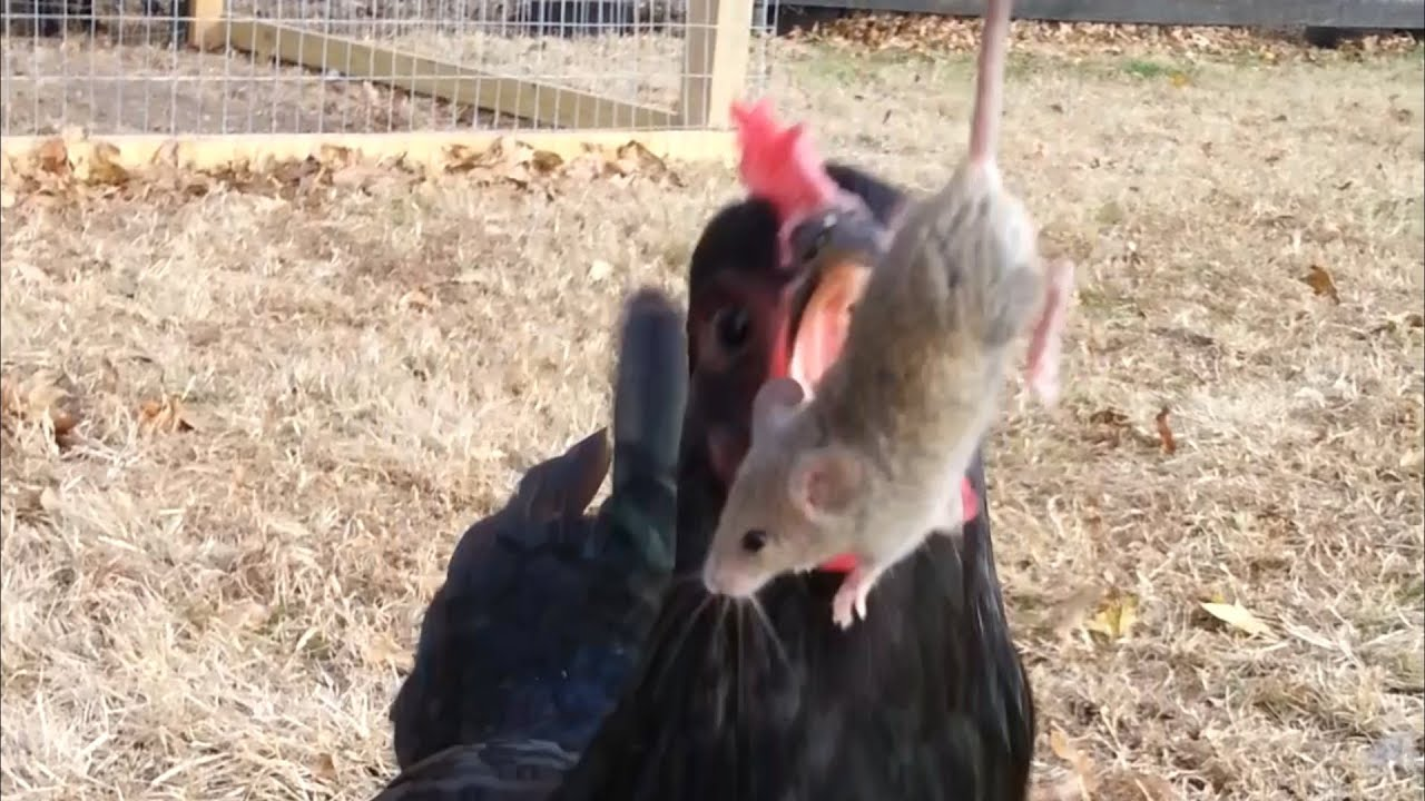 V Mouse Eating Scene Chickens Eating A Mous...