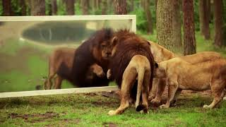 A Lion's Reaction To A Mirror!
