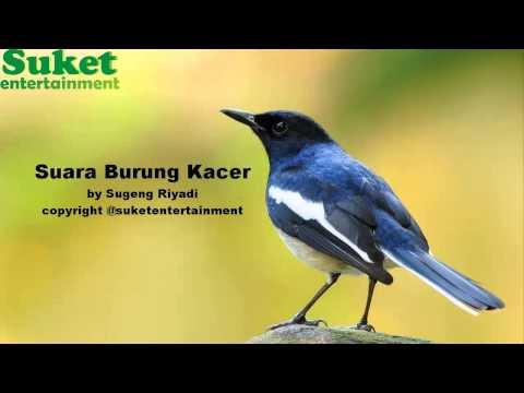 Download Suara Burung Kacer Mp3 video