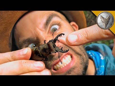 PINCHED by a GIANT STAG BEETLE!