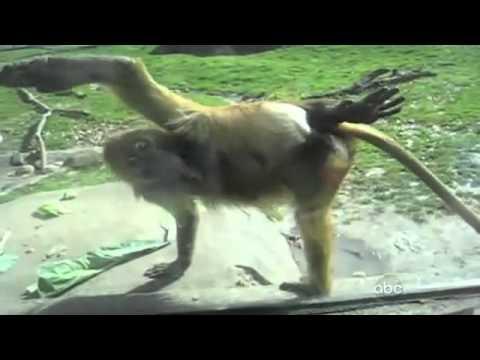 قرد قليل أدب!! بس الرجال يستاهل - Rude Monkey