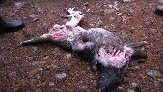 Owl feasts On Deer Carcass - #Winterwatch - #EarthOnLocation - Earth Unplugged