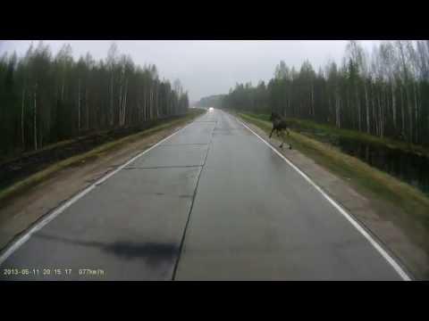 Лось перебегает дорогу /Moose is crossing the road.