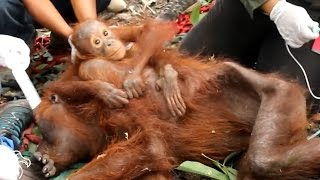 Stranded Orangutan Baby And Mom Saved Just In Time